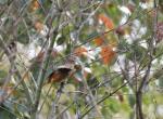 (原创)宁波的鸟 - 北红尾鸲雌鸟